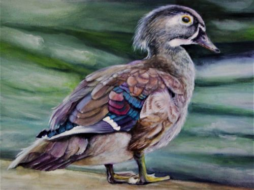 Junaluska Wood Duck 14.5 x 17.5 Framed