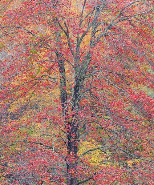 Maple Tree at Todd North Carolina
